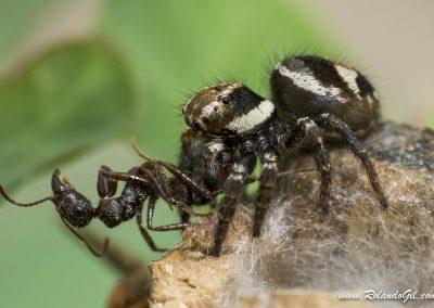 Araña capturando hormiga